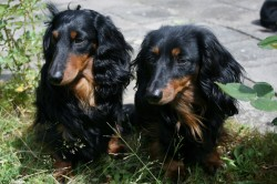 Bastie und Hannah aus dem Hüggelzwerge Rudel sind Großeltern des E Wurfs