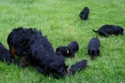 Dackel Rüde Bastie mit seinen Enkeln den E-Wurf Welpen der Hüggelzwerge