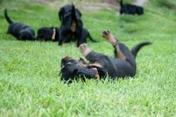 E-Wurf Dackel Welpe Ena tollt mit den Geschwistern im Gras