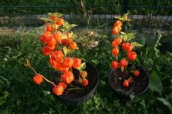 7.9.14, Lampionblumen im Dackelgarten