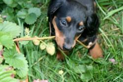 Dackel Welpe kämpft mit der Erdbeer-Pflanze im September 2014