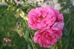 7.9.14, letzte pinke Rose im Dackelgarten