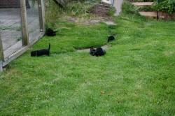 E-Wurf Dackel Welpen beim Spielen im Gras