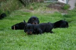Dackel Welpe Emma und ihre Geschwister im Dackel Garten