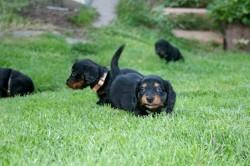 Dackel Welpe Emma genießt die Gartenzeit im Sommer