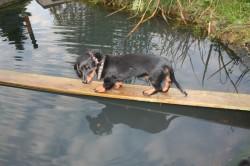 E-Wurf Dackel Welpe mutig über dem Wasser im Garten