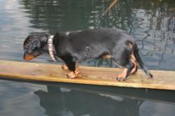E-Wurf Dackel Welpe mutig über dem Teich im Garten