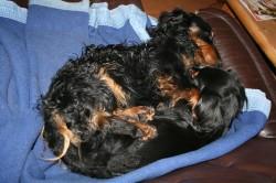 Dackel Opa Bastie und Dackel Mama Candis kuscheln auf dem Sofa