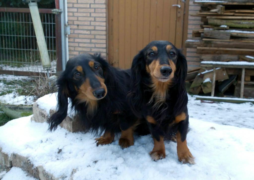 Bilbo und Heide brauchen auch im Schnee Überblick über die anderen Hunde Januar 2016