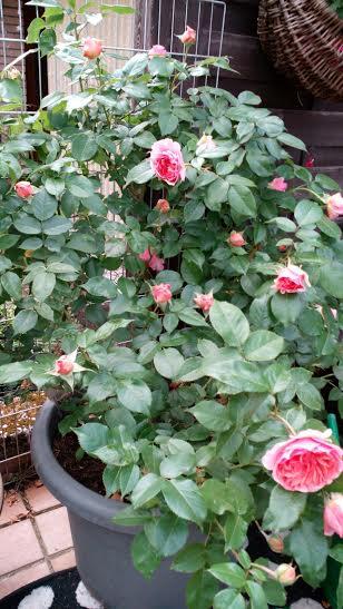 Dackel Hüggelzwerge Rudelleben Chippendale Rose Garten E-Wurf Geburtstag 2016