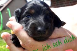 Dackel Hüggelzwerge F-Wurf Welpen Frieda Augen auf