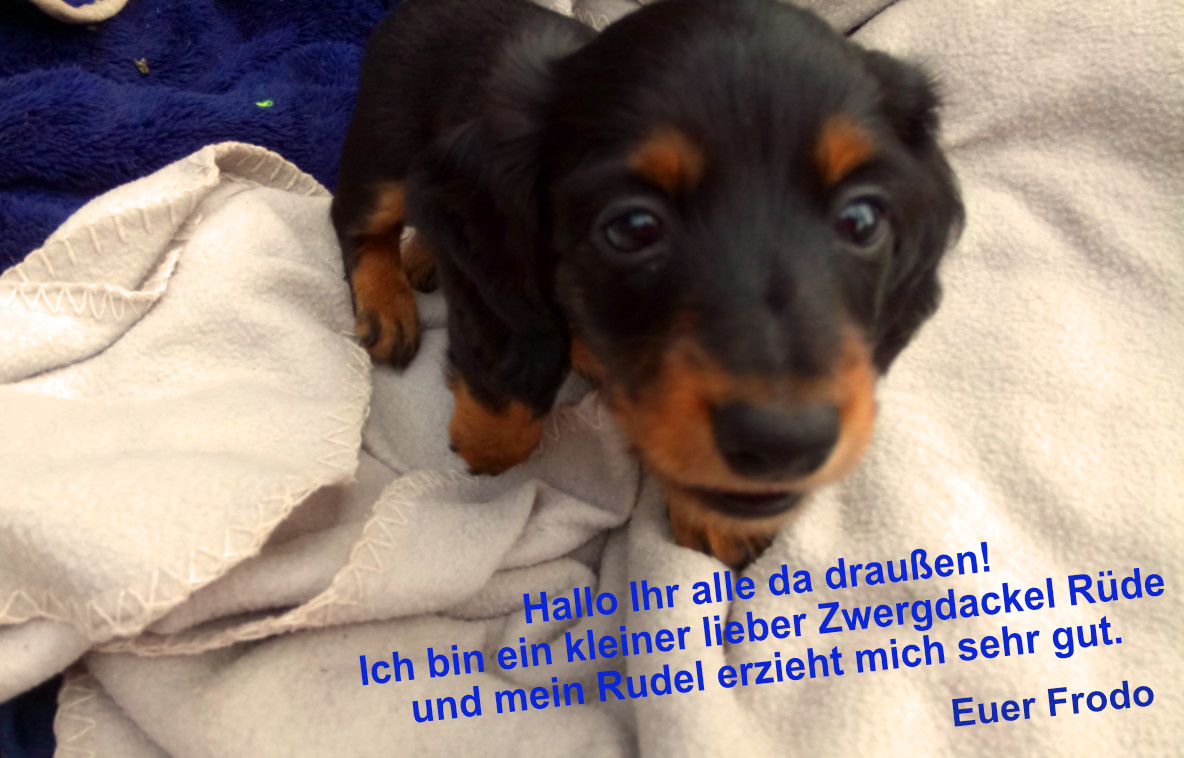 Dackel Hüggelzwerge Dackel Zucht F-Wurf Frodo Rudelerziehung