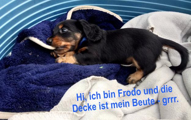 Dackel Hüggelzwerge Dackel Zucht F-Wurf Frodo Beute